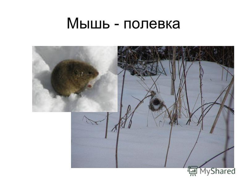 Мышь - полевка
