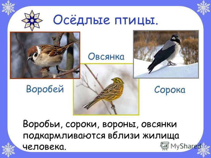 Осёдлые птицы. Воробьи, сороки, вороны, овсянки подкармливаются вблизи жилища человека. Воробей Овсянка Сорока