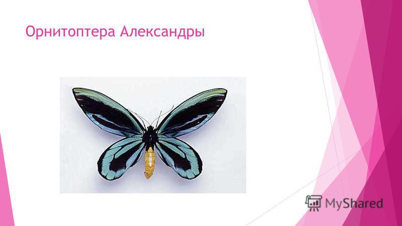Орнитоптера Александры