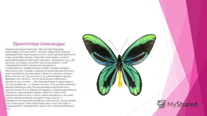 Гордость восточных тропиков - Орнитоптера Королевы Александры! Снимаем шляпу, господа, перед такой большой красавицей! Нам пора познакомиться с самой крупной бабочкой в мире: самка Орнитоптеры Королевы Александры считается крупнейшей дневной бабочкой