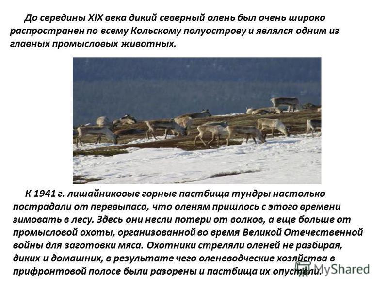 До середины XIX века дикий северный олень был очень широко распространен по всему Кольскому полуострову и являлся одним из главных промысловых животных. К 1941 г. лишайниковые горные пастбища тундры настолько пострадали от перевыпаса, что оленям приш