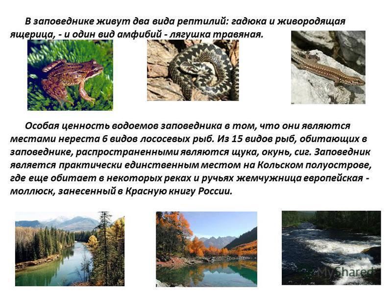 В заповеднике живут два вида рептилий: гадюка и живородящая ящерица, - и один вид амфибий - лягушка травяная. Особая ценность водоемов заповедника в том, что они являются местами нереста 6 видов лососевых рыб. Из 15 видов рыб, обитающих в заповеднике
