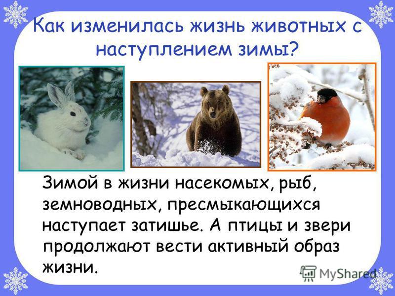 Как изменилась жизнь животных с наступлением зимы? Зимой в жизни насекомых, рыб, земноводных, пресмыкающихся наступает затишье. А птицы и звери продолжают вести активный образ жизни.