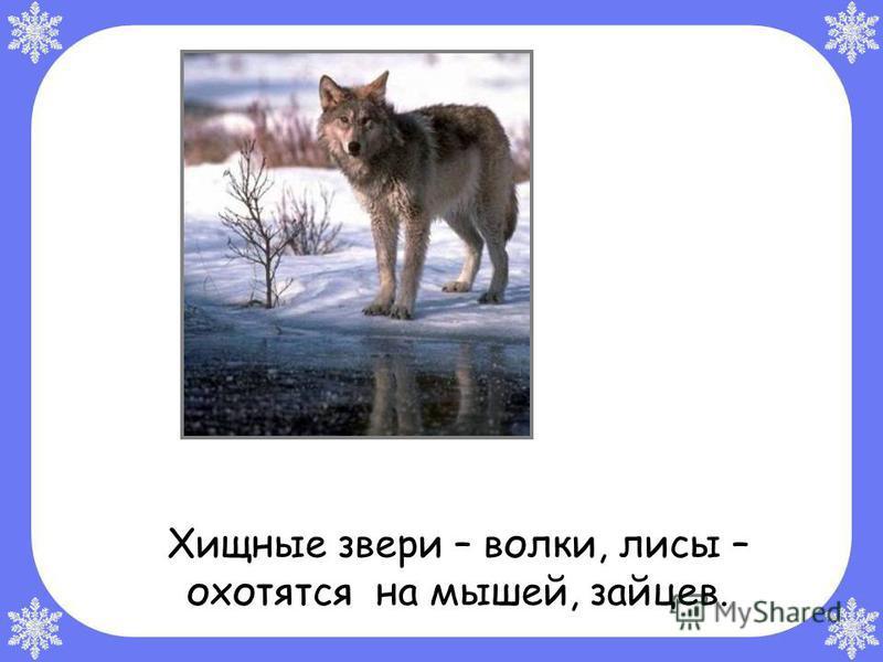 Хищные звери – волки, лисы – охотятся на мышей, зайцев.