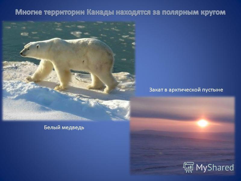 Белый медведь Закат в арктической пустыне