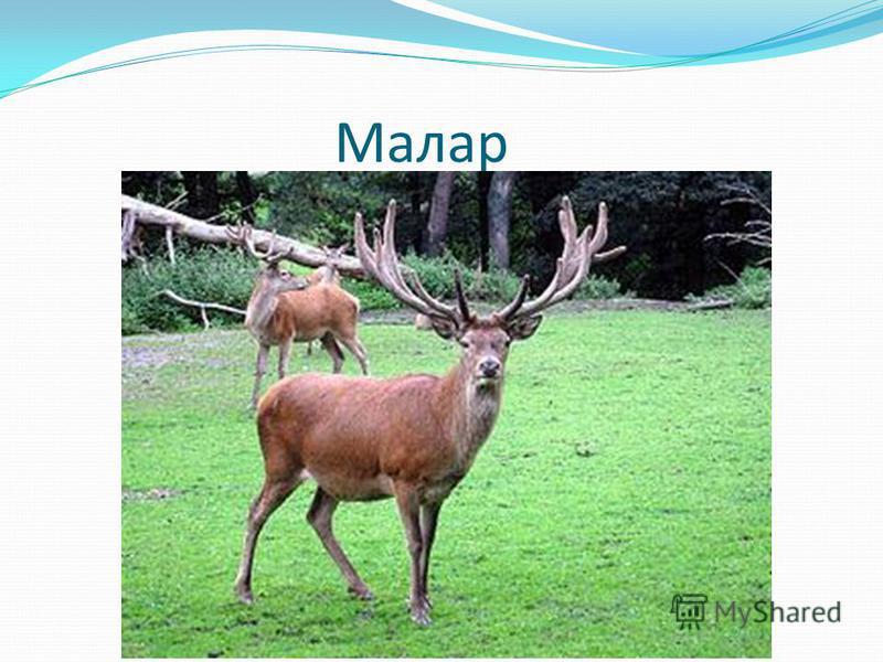 Малар