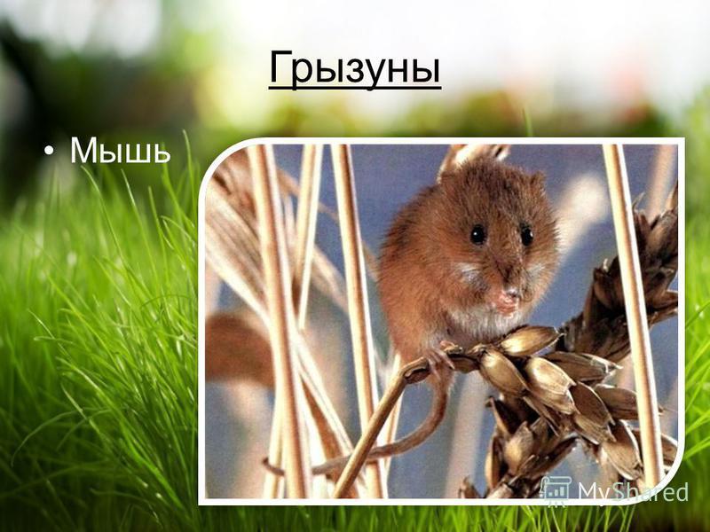 Грызуны Мышь