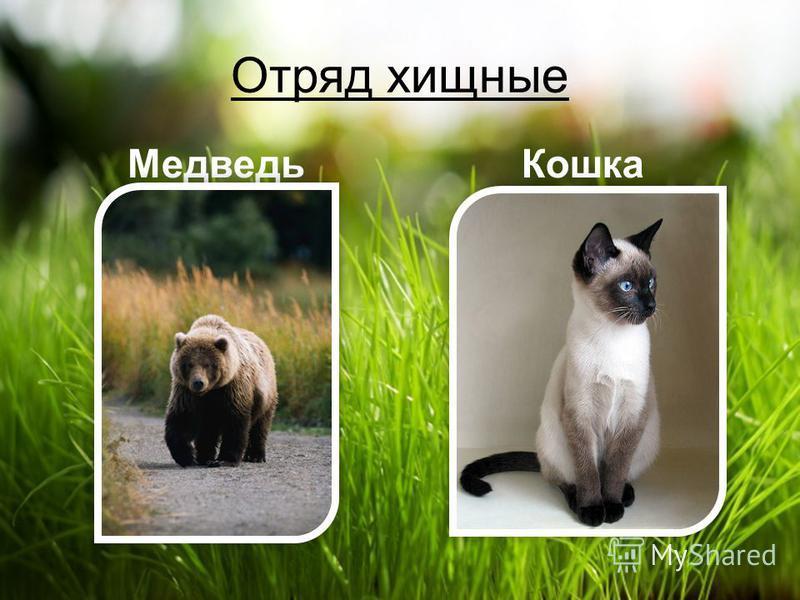 Отряд хищные МедведьКошка
