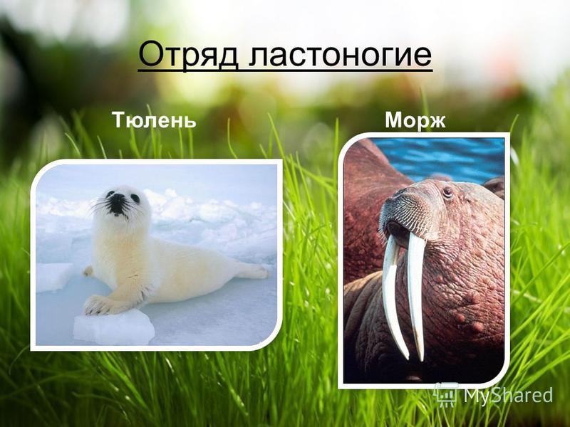 Отряд ластоногие ТюленьМорж