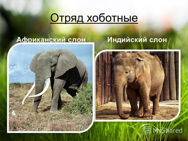 Отряд хоботные Африканский слонИндийский слон