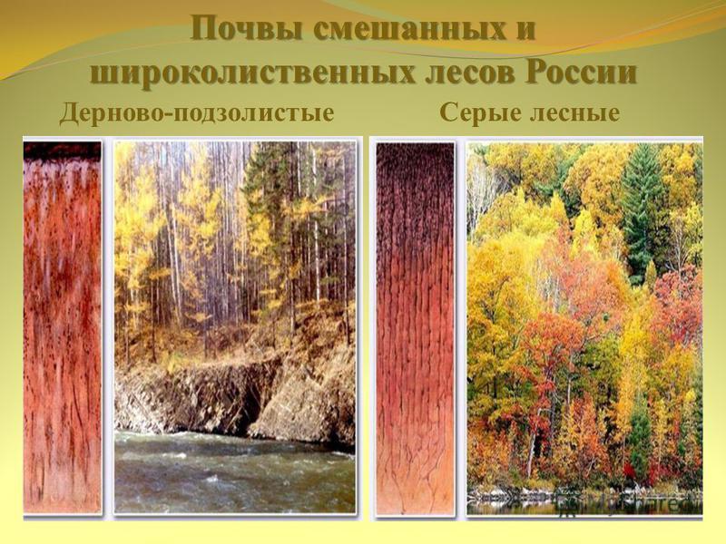 Почвы смешанных и широколиственных лесов России Дерново-подзолистые Серые лесные