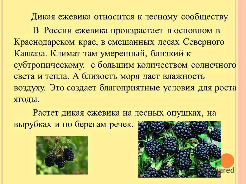 Дикая ежевика относится к лесному сообществу. В России ежевика произрастает в основном в Краснодарском крае, в смешанных лесах Северного Кавказа. Климат там умеренный, близкий к субтропическому, с большим количеством солнечного света и тепла. А близо