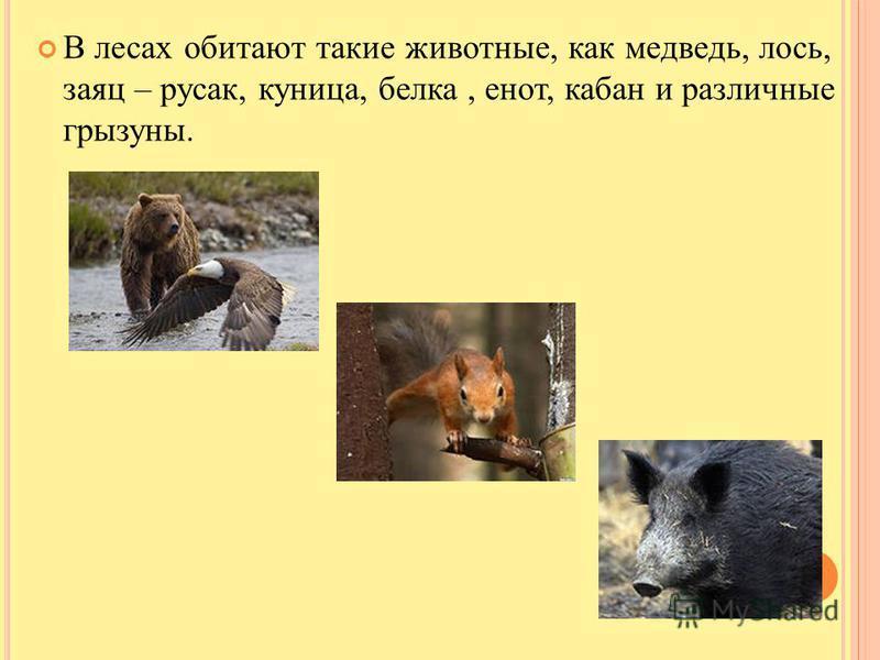 В лесах обитают такие животные, как медведь, лось, заяц – русак, куница, белка, енот, кабан и различные грызуны.