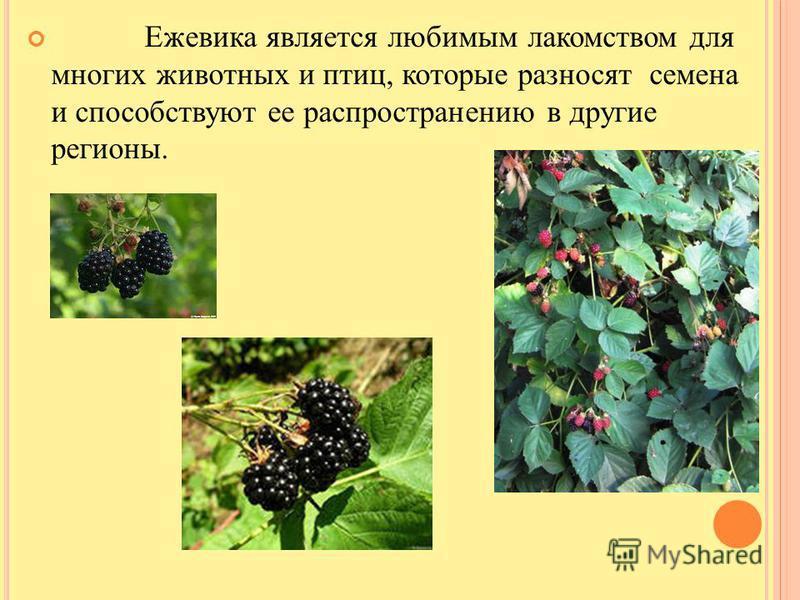 Ежевика является любимым лакомством для многих животных и птиц, которые разносят семена и способствуют ее распространению в другие регионы.