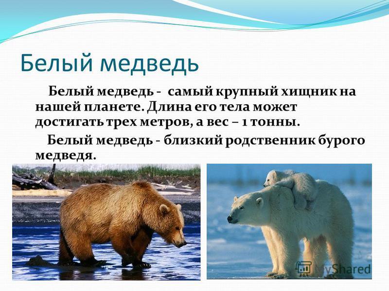 Белый медведь Белый медведь - самый крупный хищник на нашей планете. Длина его тела может достигать трех метров, а вес – 1 тонны. Белый медведь - близкий родственник бурого медведя.