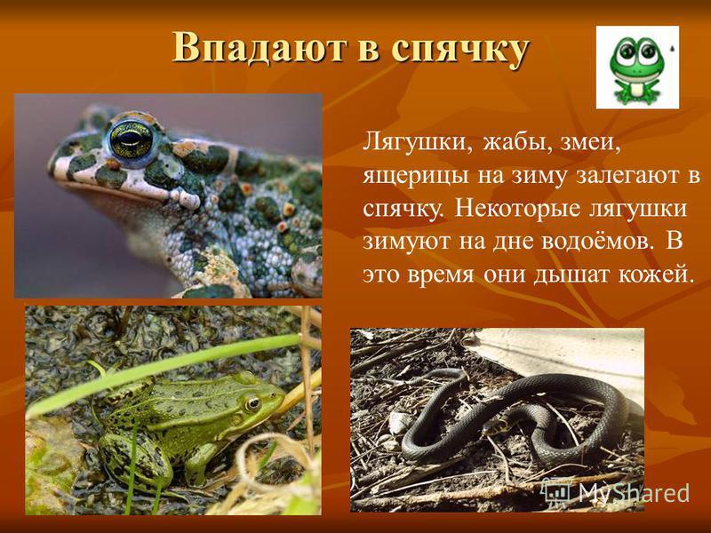 Впадают в спячку Лягушки, жабы, змеи, ящерицы на зиму залегают в спячку. Некоторые лягушки зимуют на дне водоёмов. В это время они дышат кожей.