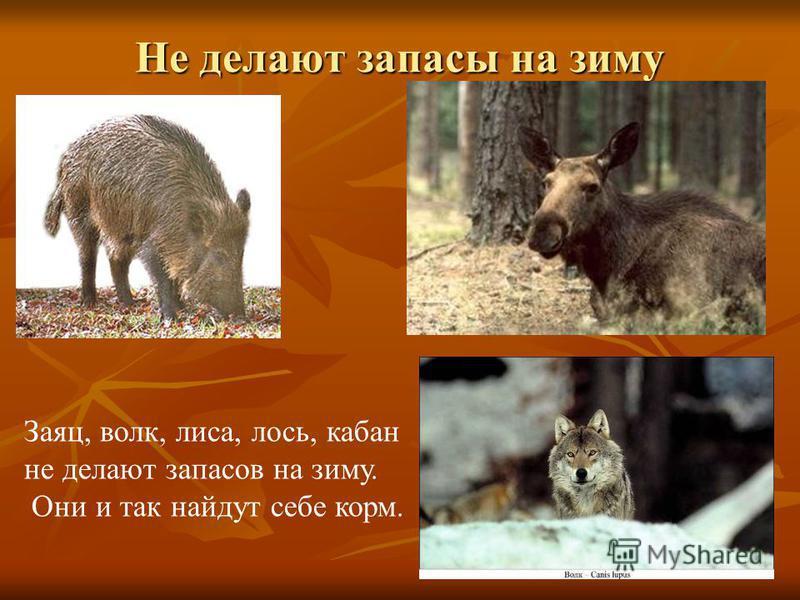 Не делают запасы на зиму Заяц, волк, лиса, лось, кабан не делают запасов на зиму. Они и так найдут себе корм.