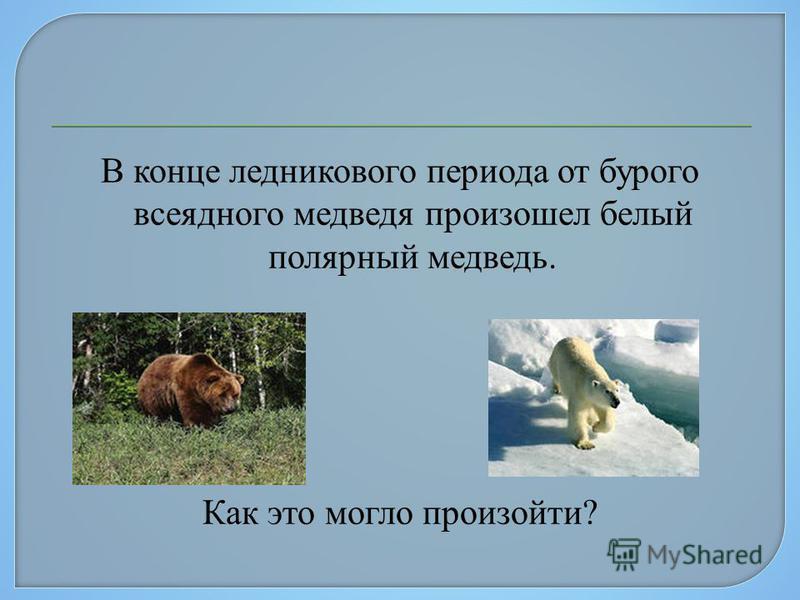 В конце ледникового периода от бурого всеядного медведя произошел белый полярный медведь. Как это могло произойти?