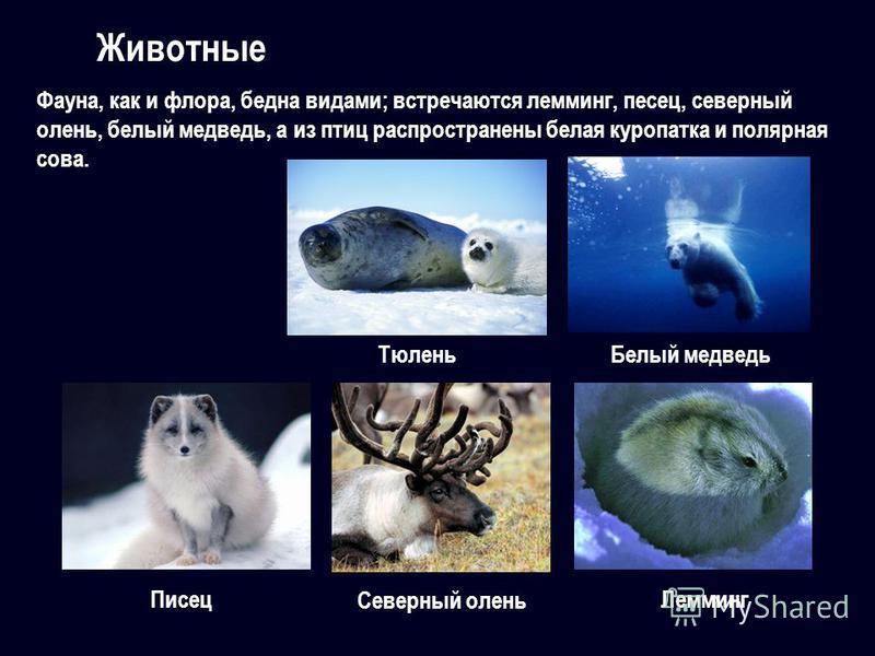 Фауна, как и флора, бедна видами; встречаются лемминг, песец, северный олень, белый медведь, а из птиц распространены белая куропатка и полярная сова. Животные Белый медведь Писец Северный олень Лемминг Тюлень