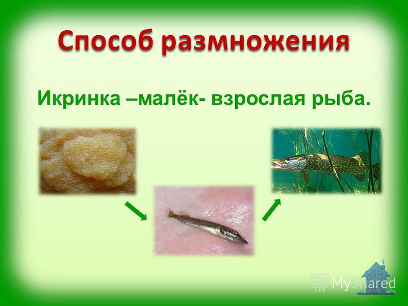 Икринка –малёк- взрослая рыба. Способ размножения