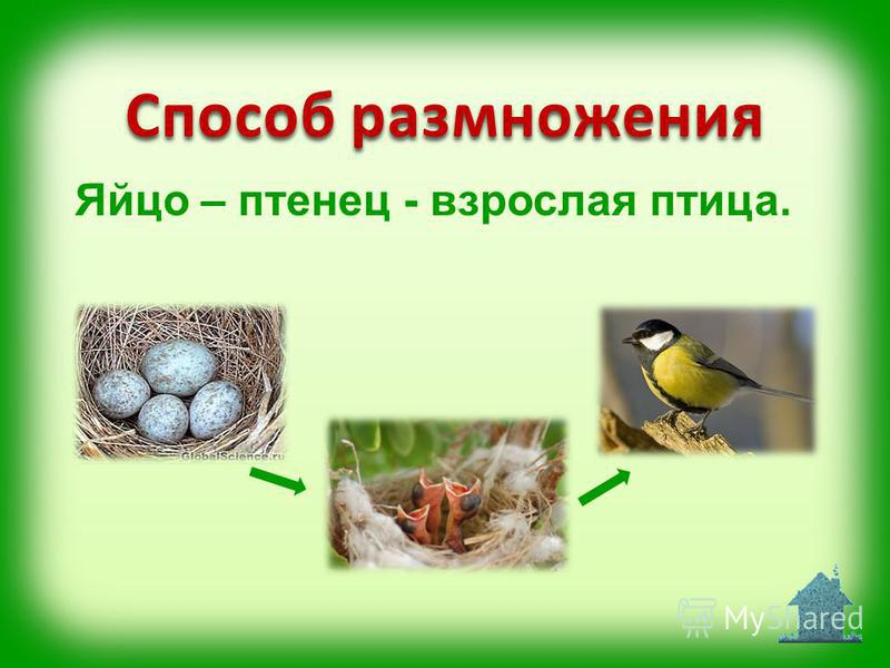 Яйцо – птенец - взрослая птица. Способ размножения