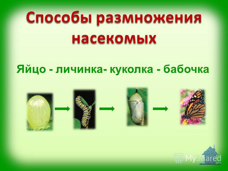 Яйцо - личинка- куколка - бабочка Способы размножения насекомых
