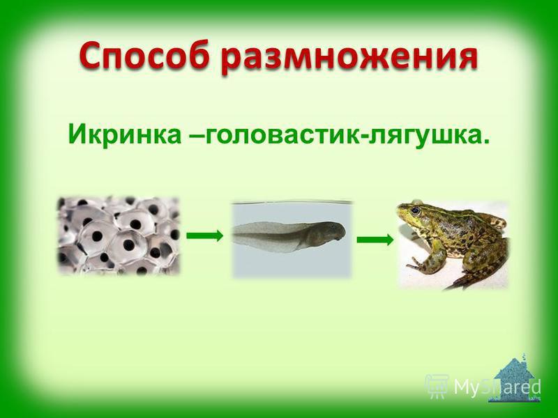 Способ размножения Икринка –головастик-лягушка.