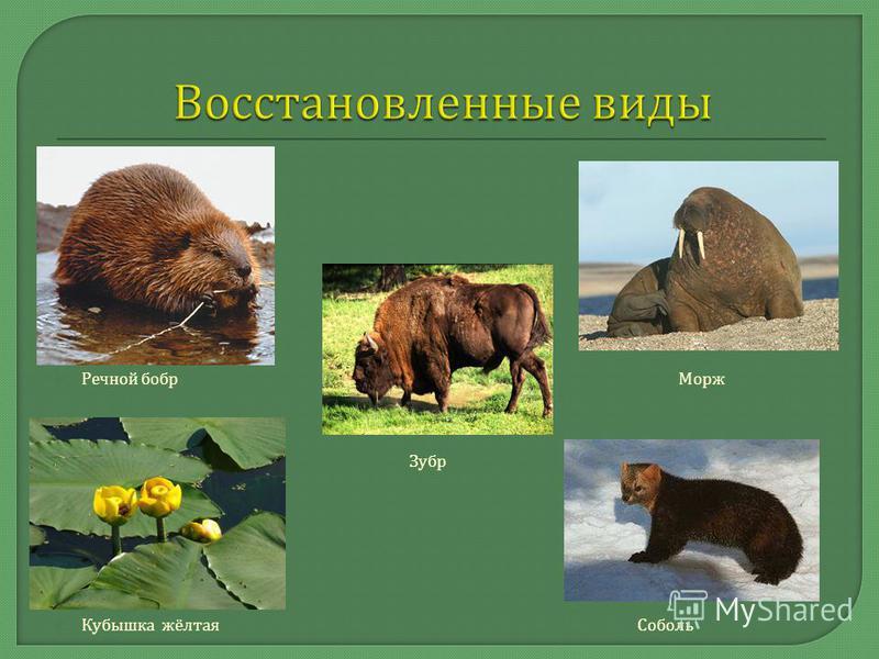 Речной бобр Морж Зубр Кубышка жёлтая Соболь