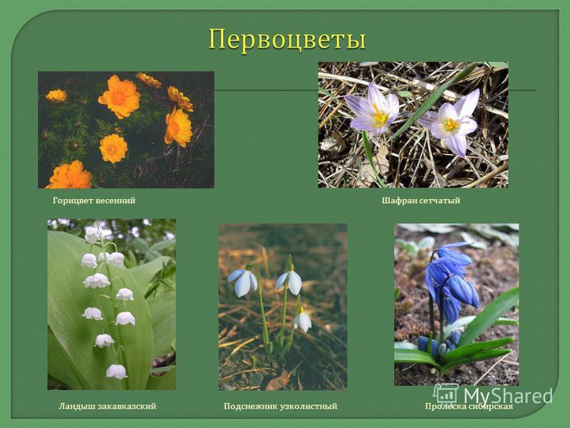 Горицвет весенний Шафран сетчатый Ландыш закавказский Подснежник узколистный Пролеска сибирская