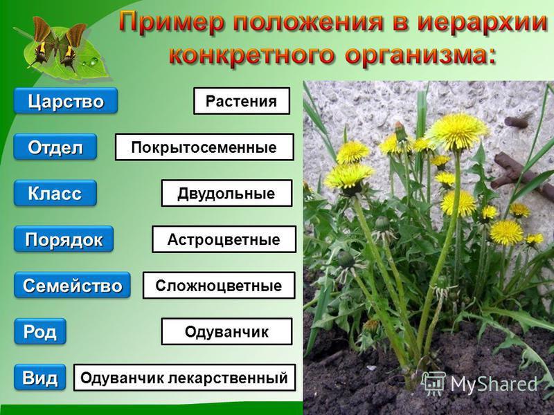 Вид Растения Одуванчик лекарственный Одуванчик Двудольные Покрытосеменные Род Род Царство Порядок Семейство Отдел Класс Класс Астроцветные Сложноцветные