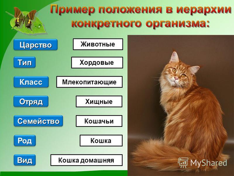 Вид Животные Кошка домашняя Кошка Млекопитающие Хордовые Род Род Царство Отряд Семейство Тип Класс Класс Хищные Кошачьи