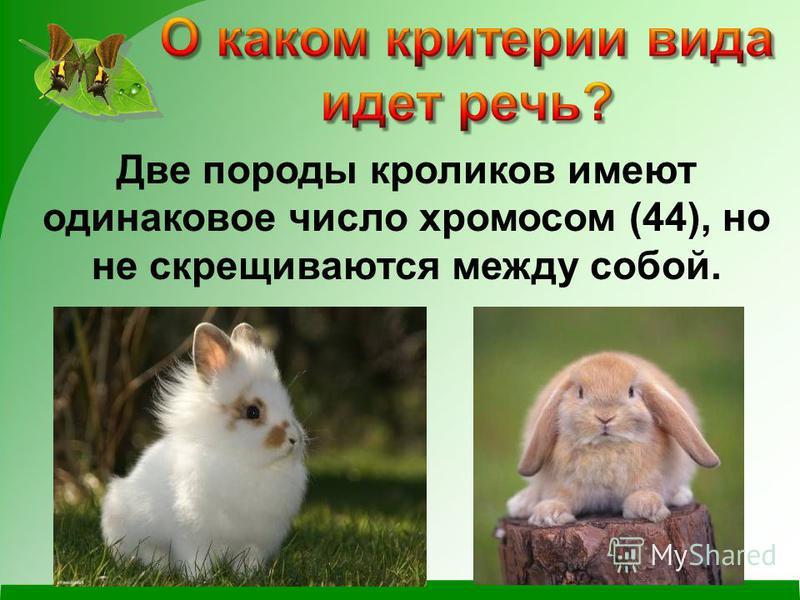 Две породы кроликов имеют одинаковое число хромосом (44), но не скрещиваются между собой.