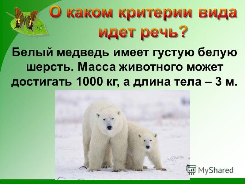 Белый медведь имеет густую белую шерсть. Масса животного может достигать 1000 кг, а длина тела – 3 м.