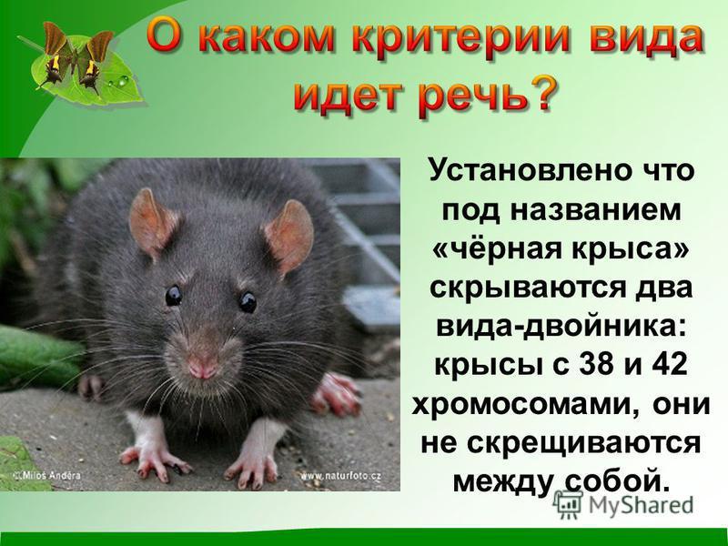 Установлено что под названием «чёрная крыса» скрываются два вида-двойника: крысы с 38 и 42 хромосомами, они не скрещиваются между собой.