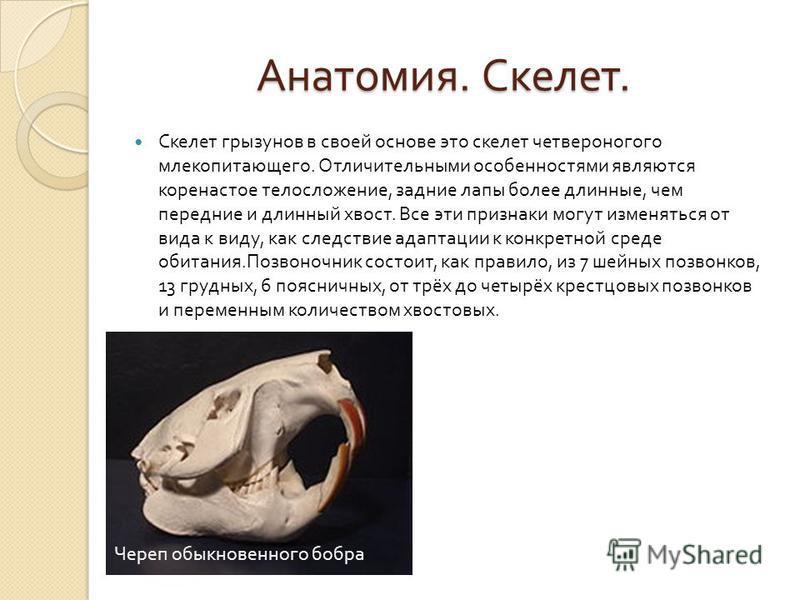 Анатомия. Скелет. Анатомия. Скелет. Скелет грызунов в своей основе это скелет четвероногого млекопитающего. Отличительными особенностями являются коренастое телосложение, задние лапы более длинные, чем передние и длинный хвост. Все эти признаки могут