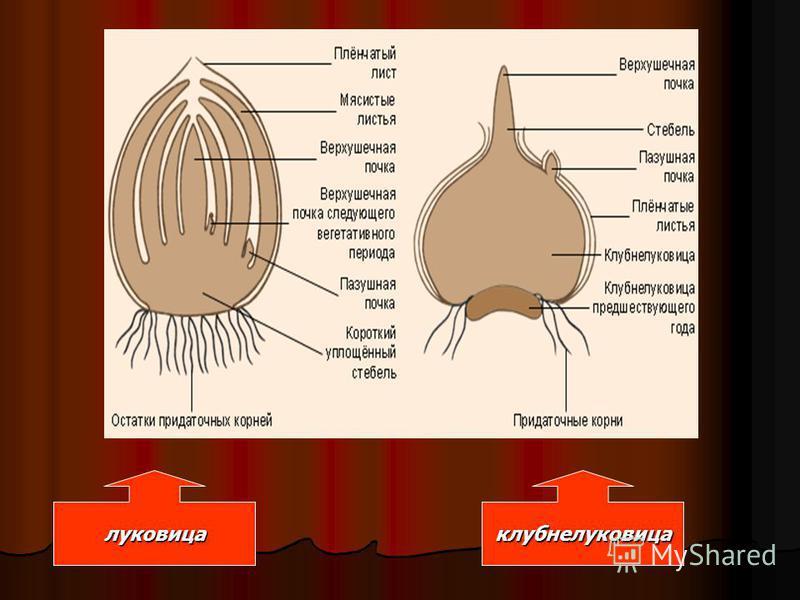 луковица клубнелуковица