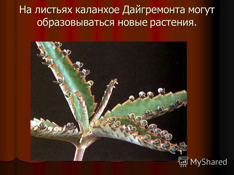 На листьях каланхоэ Дайгремонта могут образовываться новые растения.