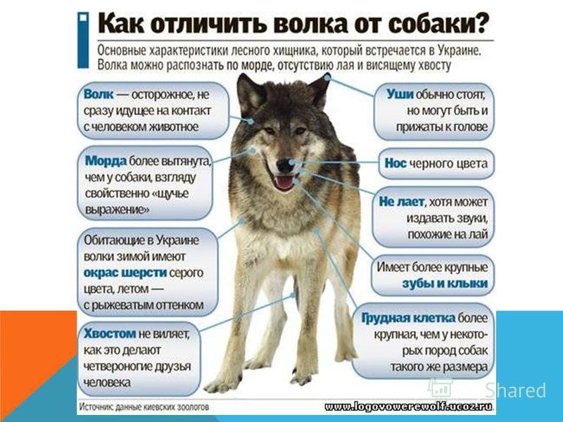 Горожане часто считают, что волки живут в глухих бескрайних лесах. На самом деле они таких мест избегают там слишком мало корма. Волки любят степи, полупустыни, тундры, небольшие леса, перемежающиеся с открытыми пространствами. Живут волки парами или