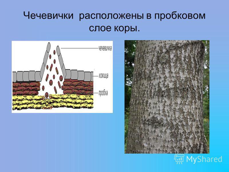 Чечевички расположены в пробковом слое коры.
