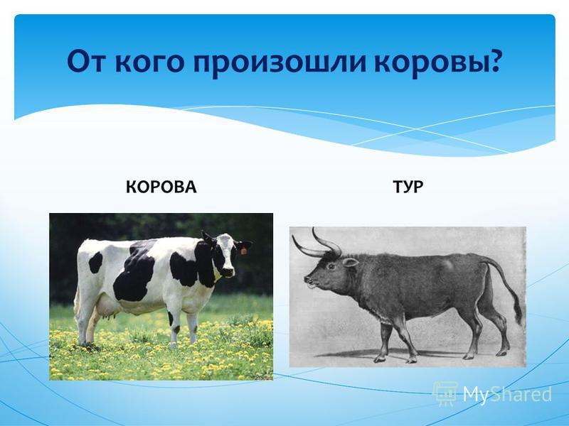 От кого произошли коровы? КОРОВАТУР