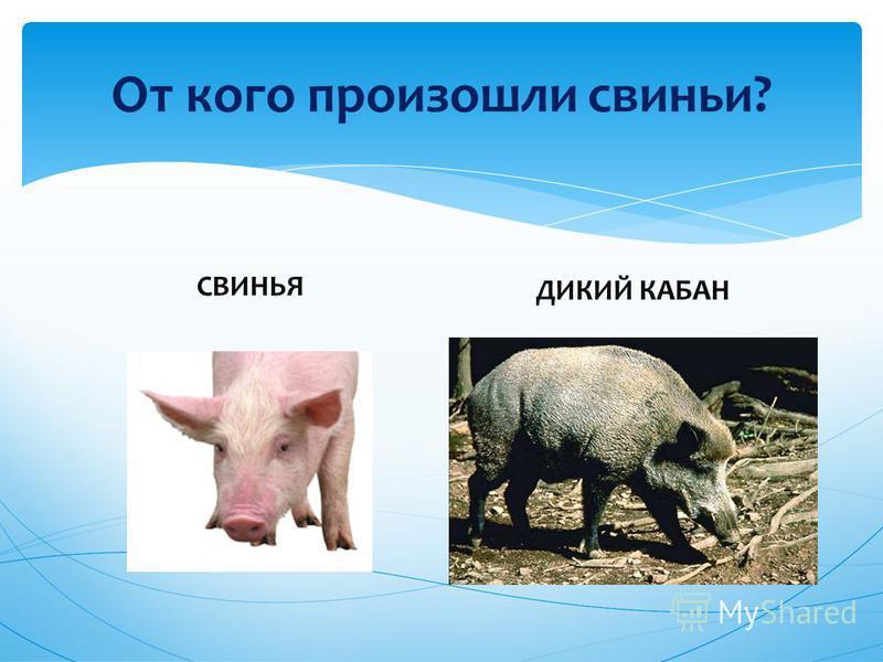 От кого произошли свиньи? СВИНЬЯ ДИКИЙ КАБАН