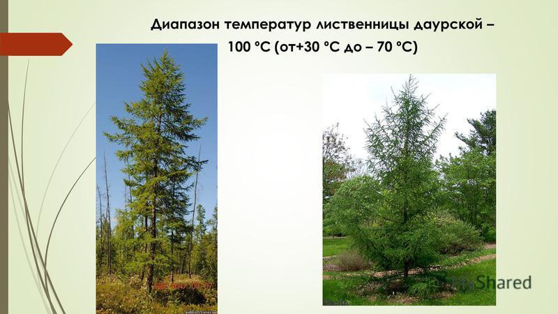 Диапазон температур лиственницы даурской – 100 ºC (от+30 ºC до – 70 ºC)