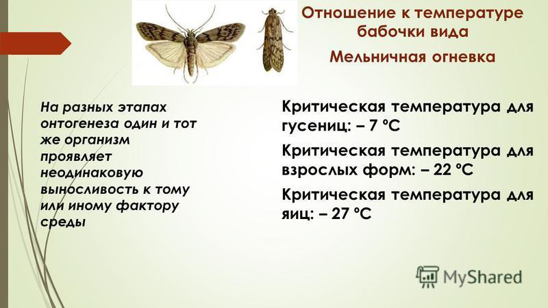 На разных этапах онтогенеза один и тот же организм проявляет неодинаковую выносливость к тому или иному фактору среды Отношение к температуре бабочки вида Мельничная огневка Критическая температура для гусениц: – 7 ºC Критическая температура для взро