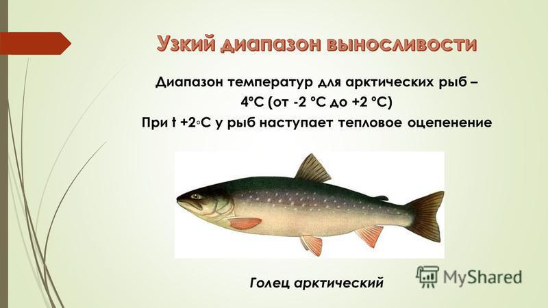 Диапазон температур для арктических рыб – 4ºC (от -2 ºC до +2 ºC) При t +2С у рыб наступает тепловое оцепенение Голец арктический