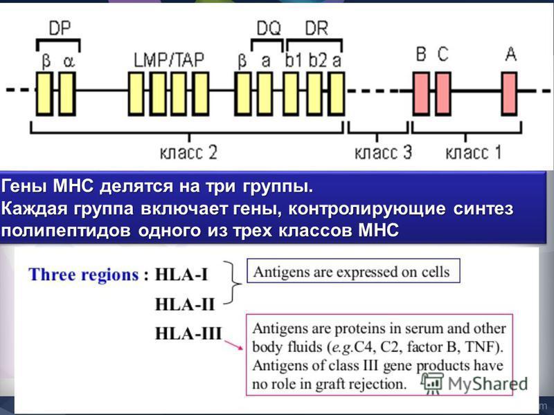 Гены MHC делятся на три группы. Каждая группа включает гены, контролирующие синтез полипептидов одного из трех классов MHC Гены MHC делятся на три группы. Каждая группа включает гены, контролирующие синтез полипептидов одного из трех классов MHC