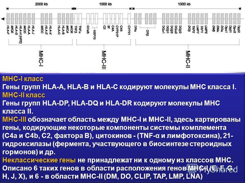 MHC-I класс Гены групп HLA-A, HLA-B и HLA-C кодируют молекулы MHC класса I. MHC-II класс Гены групп HLA-DP, HLA-DQ и HLA-DR кодируют молекулы MHC класса II. MHC-III обозначает область между MHC-I и MHC-II, здесь картированы гены, кодирующие некоторые