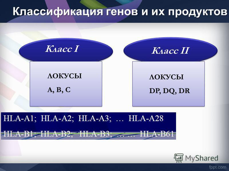 Класс I Класс II ЛОКУСЫ А, В, С ЛОКУСЫ DP, DQ, DR Классификация генов и их продуктов