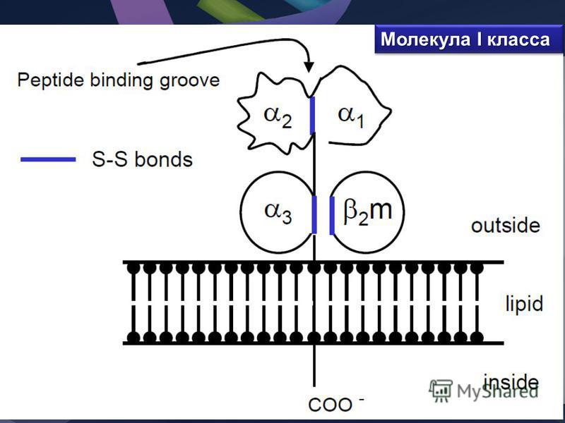 Молекула I класса