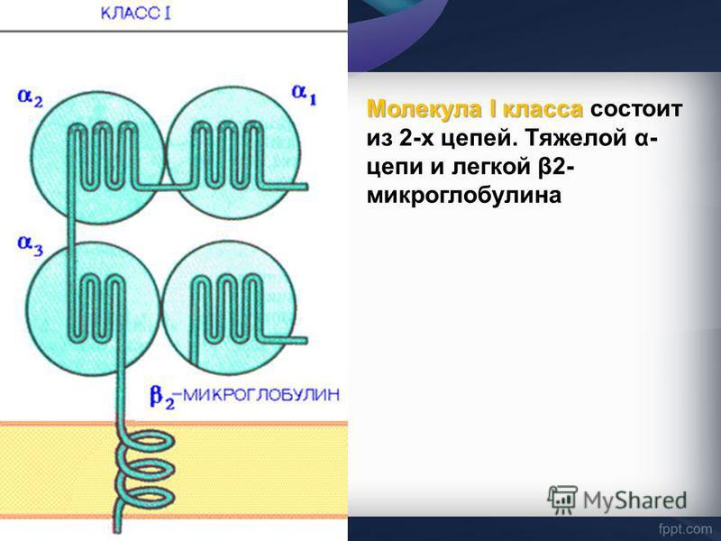 Молекула I класса Молекула I класса состоит из 2-х цепей. Тяжелой α- цепи и легкой β2- микроглобулина