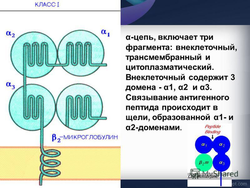 α-цепь, включает три фрагмента: внеклеточный, трансмембранный и цитоплазматический. Внеклеточный содержит 3 домена - α1, α2 и α3. Связывание антигенного пептида происходит в щели, образованной α1- и α2-доменами.